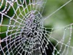 Japanese to mass-produce spider silk